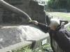 12-kali-fattert-den-elefanten