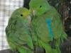 p-kolumbianische-sperlingspapageien